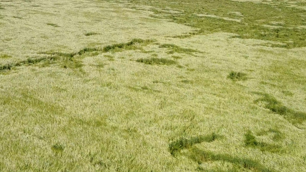 Круги на поле под Битимкой (Урал, Россия) были обнаружены летом 2018 года